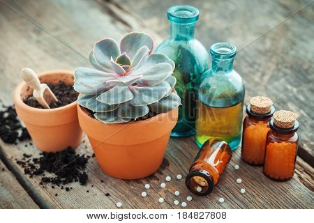 Echeveria In Flowerpot And Homeopathic Remedies For Plant And Crops. Natural Alternative Treatment O