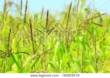 field of maize with flowers and leaves