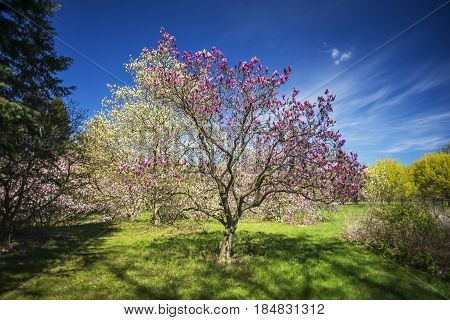 Beautiful magenta flowering magnolia tree in grassy clearing between other blossoms and landscaping deep blue sky spring scene