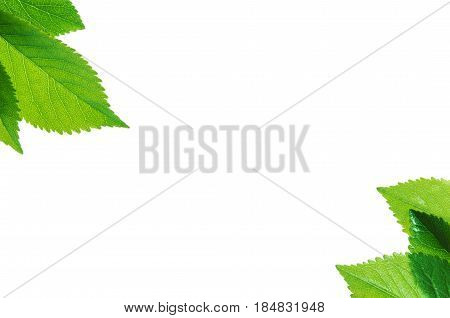 frame of Green leaves isolated on white background