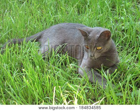 Cat korat on the green grass in sumer