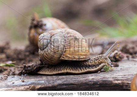 Helix Pomatia, Or Burgundy Snail, Roman, Edible Or Escargot Crawls On A Wooden Board. The Snail Stuc