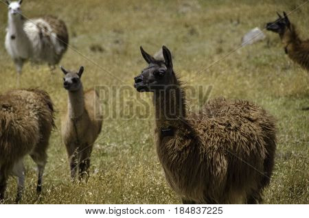 Pack of Llamas in remote Ecuadorian field