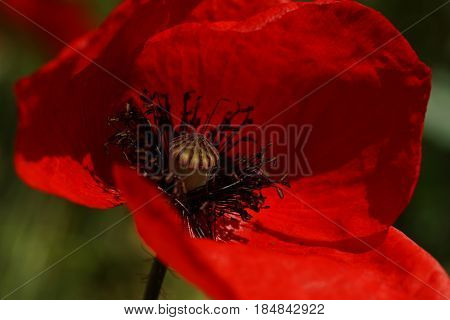 Red Poppy  In The Meadow. Papaver Rhoeas Close Up