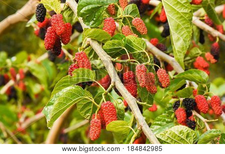 Fresh mulberry fruits on branch of red mulberry tree.