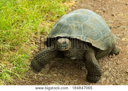 Tortoises are herbivorous animals with a diet comprising cactus, grasses, leaves, vines, and fruit, walking in a rocky road.
