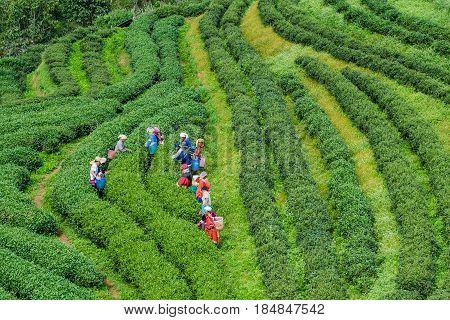 CHIANG MAI THAILAND -November 26 2017: Tea workers from Thailand break tea leaves on tea plantation at Doi Ang Khang Chiang Mai Thailand