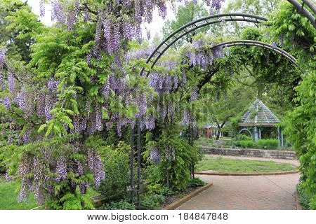 The wisteria welcomes visitors to the herb garden at Inniswood Gardens in Westerville, Ohio.