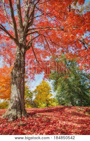 Colorful autumn trees at a park in New England. Maple tree leaves forming a beautiful red carpet.