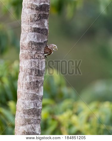 Pygmy owl looking out of its nest in a tree in Costa Rica