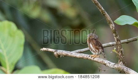 Pygmy owl perched on a tree branch in Costa Rica