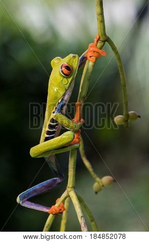 Red-Eyed Tree Frog climbing a plant in costa rica