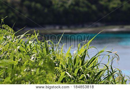 Grass stalks Green grass stalks with a beach background