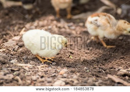 chicken,animal ,animals ,beak, bill, bird ,chick ,chicken ,domestic, farm ,fowl ,hen, isolated ,isolation, livestock ,natural ,nature ,plumage ,poultry, rooster ,white, 1 animal ,animal head, bird ,chicken ,focus on foreground, looking away ,multi colored