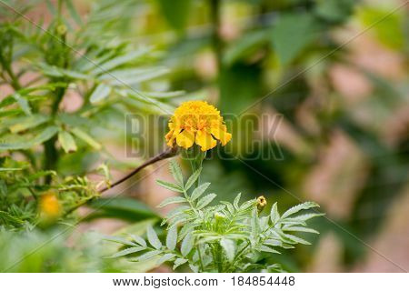 Marigold, african ,background ,beautiful, bloom, blooming, blossom ,blur, botanical ,botany ,colorful ,decoration ,field ,flora ,flower ,garden ,gold, golden ,marigold ,mexican ,nature ,orange ,park ,plant ,summer, vibrant ,yellow,