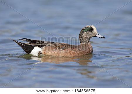 American Wigeon Swimming In A Lake - San Diego, California