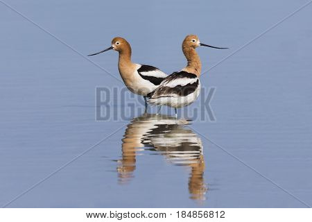 Pair of American Avocets (Recurvirostra americana) and reflection in a shallow lake - Ash Meadows National Wildlife Refuge Nevada