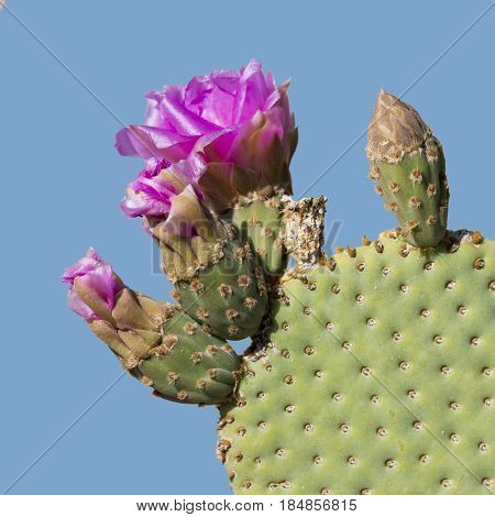 Beavertail Pricklypear Cactus In Flower - Anza Borrego State Park, California