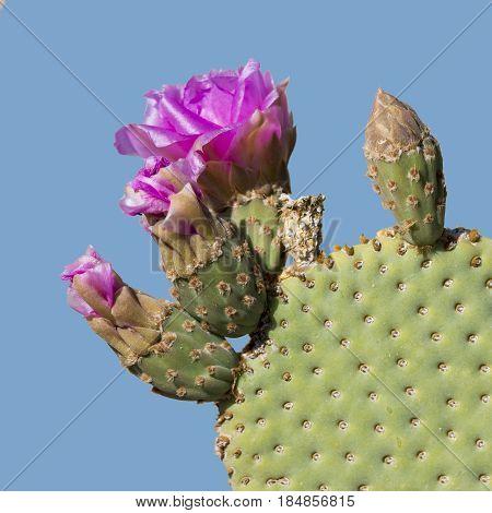 Beavertail Pricklypear Cactus In Flower - Anza Borrego State Park, California