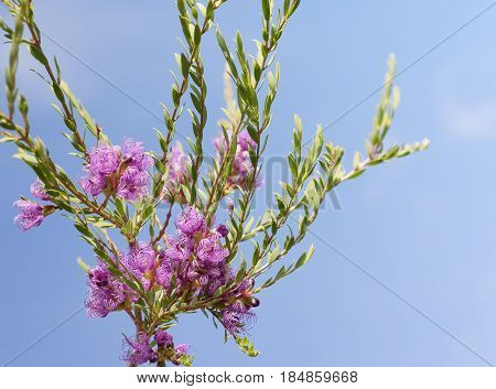 Australian wildflower Melaleuca thymifolia known as thyme honey-myrtle or pink lace honey myrtle against blue sky