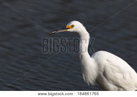 Snowy Egret (Egretta thula) foraging in the lake. Shoreline Lake, Mountain View, Santa Clara County, California, USA.