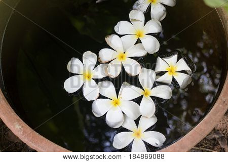 Plumeria Flowers In Garden Water Bowl stock photo