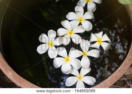 Plumeria Flowers In Garden Water Bowl stock photo
