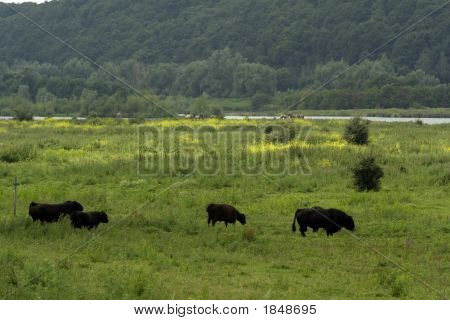 Grazing Galloway Cattle