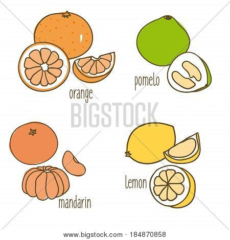 Colored drawing citrus fruits collection with healthy ripe orange pomelo tangerine and lemon isolated vector illustration
