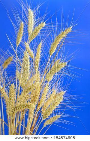 stems of ripe wheat against blue sky