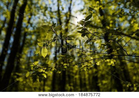 Fresh green leaves backlit with sun rays in the forest, spring see through greenary in garden backlight outdoors