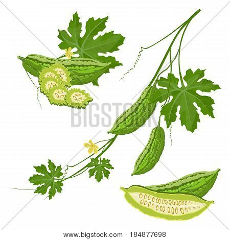 Bitter melon with green leaf and flower on brunch realistic vector illustration isolated on white, agriculture gardening concept