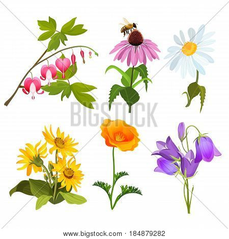 Set of field blooming plants echinacea, bleeding heart flowers, yellow arnica, violet viola, white chamomile and red poppy realistic vector illustration isolated