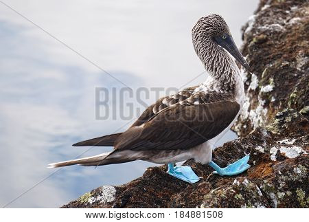 A blue footed boobie of the Galapagos Islands