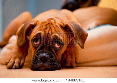 german boxer - sad dog with hangover