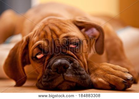 German Boxer - Puppy Dog With Hangover