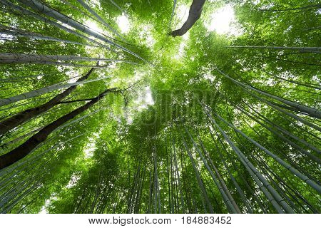 Green Bamboo Forest from low angle