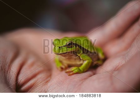 Hyla arborea. Hyla molleri. Little green frog. European tree frog. Common tree frog. Macro view of european green tree frog.