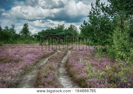 The heather flowers field rural road pine and aspen trees cloudy landscape. Ukrainian nature. Dark toned