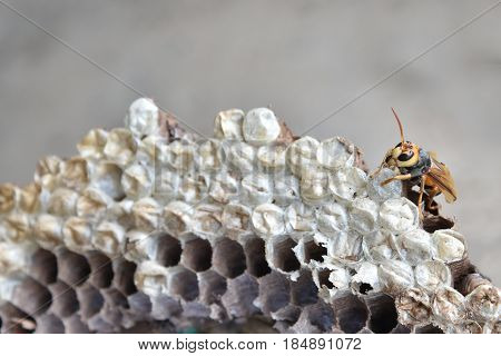 Hornet wasp nest with egg and larva