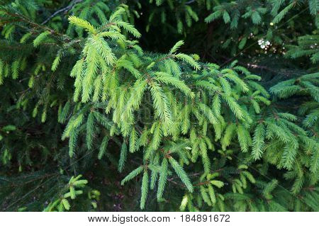 Green young needles of fir tree in forest.