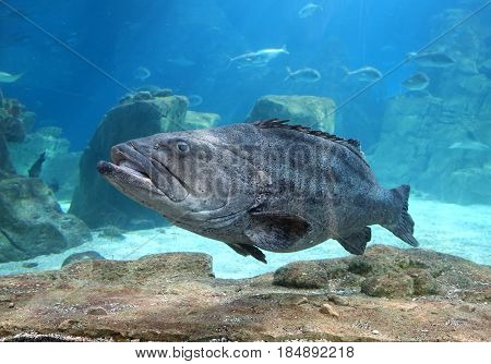 The Grouper in Istanbul Sea Life Aquarium (TurkuaZoo). Istanbul Turkey