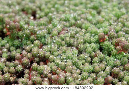 Nature background. Green moss with dew on it