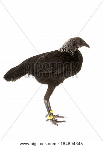 Modern Game fowl in front of white background