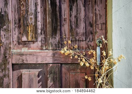 Old red wooden door with a handle covered with dry yellow hops in the sunlight