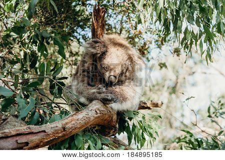 Australian koala sleeping while grabbing an eucalyptus tree branch.