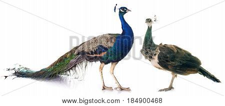 female and male peacock in front of white background