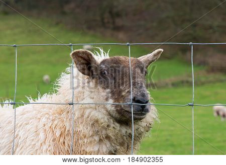 Sheep behind wire fence looking at camera with quizical look. Devon England