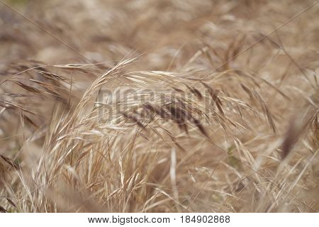 Flora Of Gran Canaria - Stipa Grass