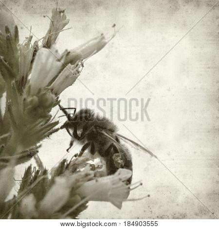 textured old paper background with honeybee on Echium flower
